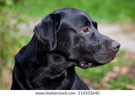 Black labrador retriever watching carefully for something - stock photo