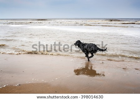 Black labrador running on the beach, Holland - stock photo