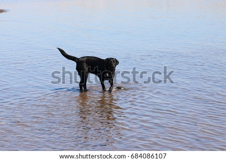 Black Labrador walking in Shallow River