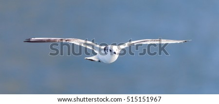 Black-legged kittiwake flying on Iceland - Natural habitat