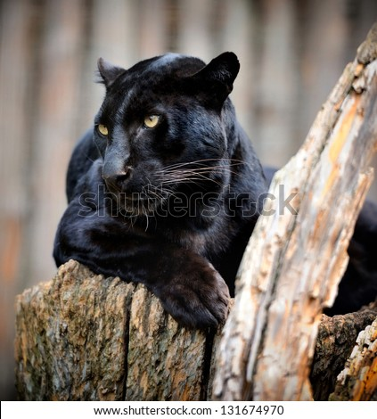 Black leopard - stock photo
