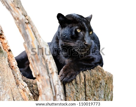 Black leopard isolated on white background