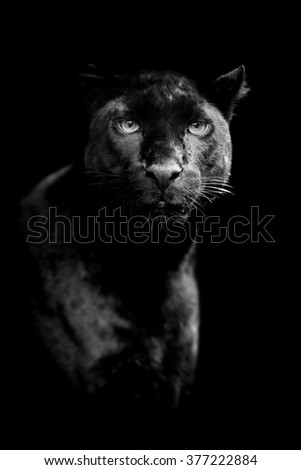Black leopard on dark background. Black and white image