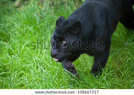 Black leopard Panthera Pardus prowling through lnog grass in captivity