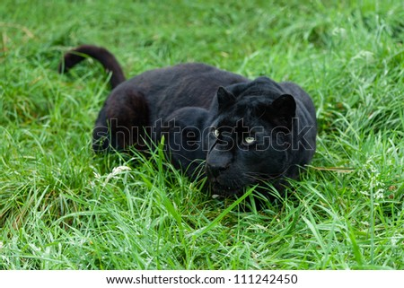 Black Leopard Stalking in Long Grass Panthera Pardus