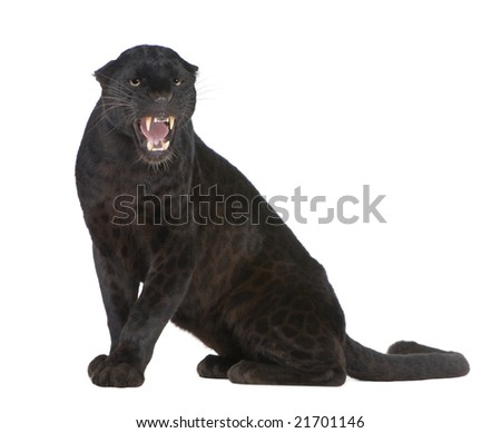 Stock photo 7803494 black leopard 6 years in front of a white black