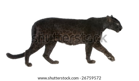 Black Leopard (6 years) in front of a white background - stock photo