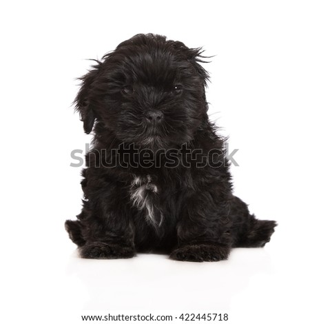 black lhasa apso puppy sitting on white