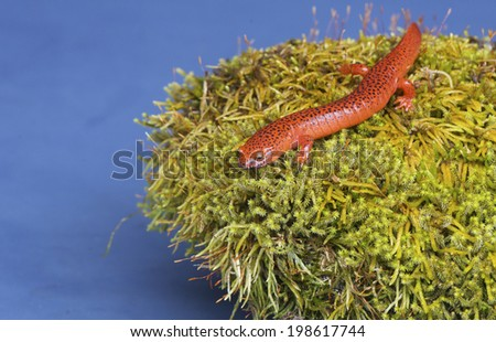 Black-lipped Salamander sits on a moss covered rock. - stock photo