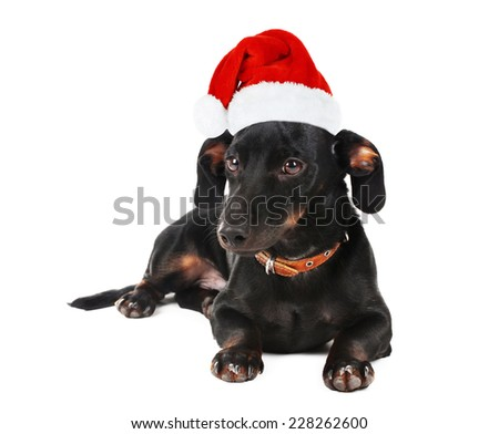 Black little dachshund dog in Santa Claus hat isolated on white - stock photo