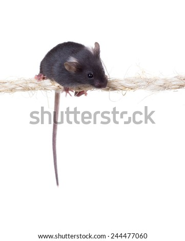 Black little mouse sitting on the rope. Isolated on white background - stock photo