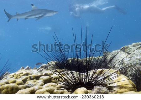 Black Longspine Urchin (Diadema setosum) - stock photo