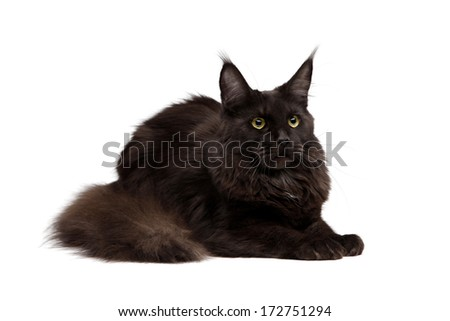 Black Maine Coon on white background