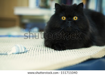 Black male cat looking attentively at photo camera