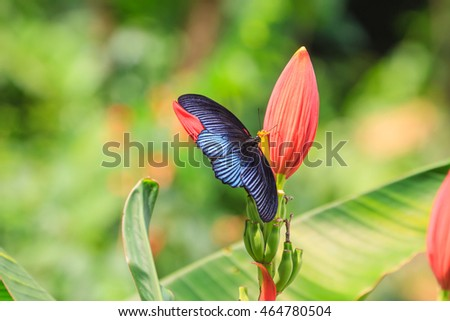 Black male great mormon open wing on tree in nature