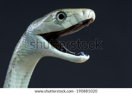 Black mamba biting / Dendroaspis polylepis - stock photo