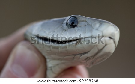 Black Mamba snake (Dendroaspis polylepis) being held by a person - stock photo