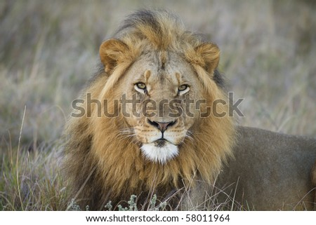 Black maned lion - stock photo