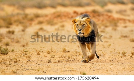 Black-maned lion in desert portrait, Kalahari, South Africa - stock photo