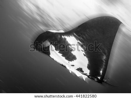 Black Manta Ray in Black and White - stock photo