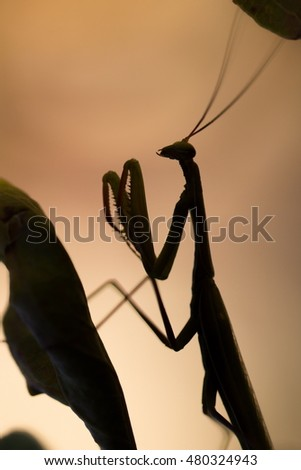 black mantis with sunset background