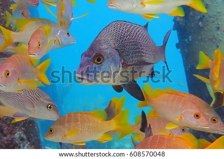 Black margate and mutton snappers in the light blue ocean background. School of tropical colorful fish, variety of species in the sea. Corals and columns in the picture. Scuba diving with fish.