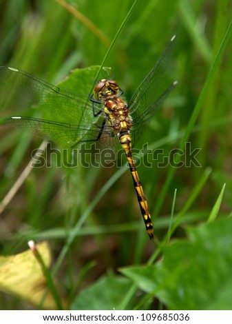 Black Meadowhawk dragonfly, Sympetrum danae Sulzer, seen throughout Alberta near marshes.  Size to 37 cm.