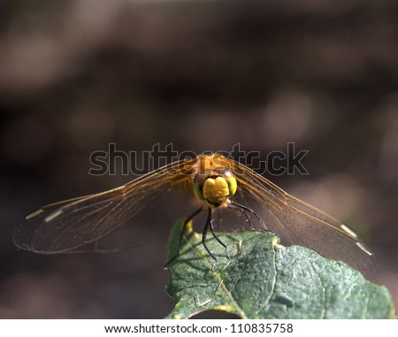 Black Meadowhawk dragonfly, Sympetrum danae Sulzer, seen throughout Alberta near marshes. Size to 37 cm. - stock photo