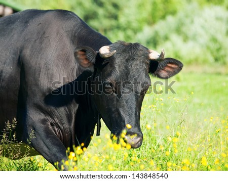 black milk cow in the pasture. sunny day
