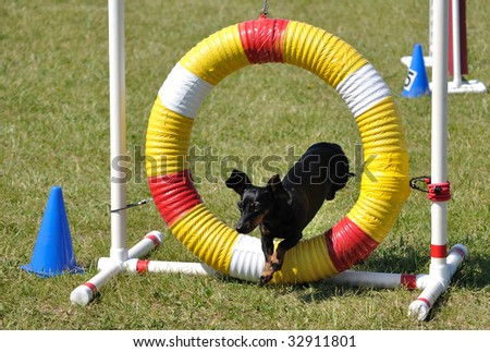 Black Miniature Dachshund Jumping through an Agility Tire, copy space - stock photo