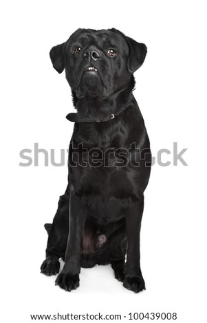 black mixed breed dog in front of a white background
