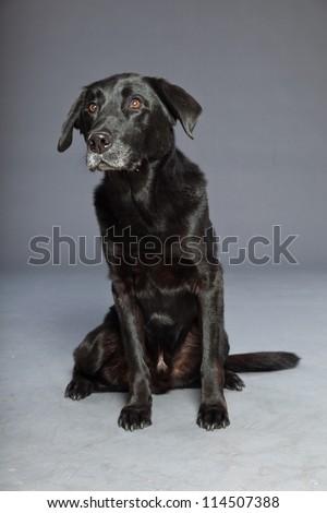 Black mixed breed dog. Mix of flatcoated and labrador retriever. Studio shot. Isolated on grey background. - stock photo