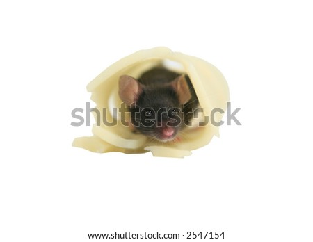Black mouse hiding in Swiss cheese isolated on white - stock photo