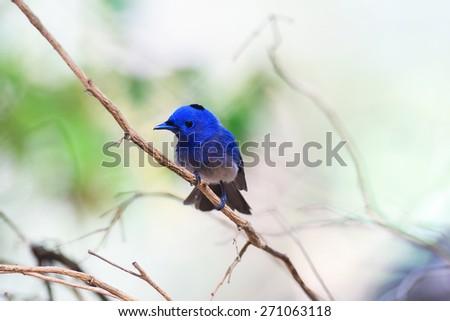 Black-naped Monarch, Blue head and beautiful bird - stock photo