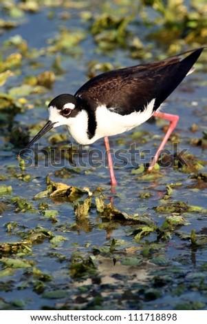 black-necked stilt - stock photo
