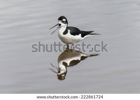 Black necked Stilt - stock photo