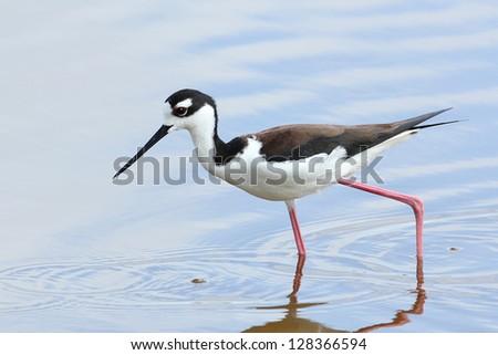 Black-necked Stilt - Everglades National Park, Florida - stock photo
