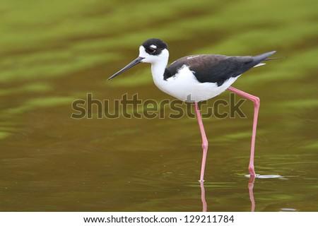 Black-necked Stilt (Himantopus mexicanus) - Everglades National Park, Florida - stock photo