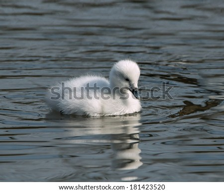 Black-necked Swan Cygnet with reflection - stock photo