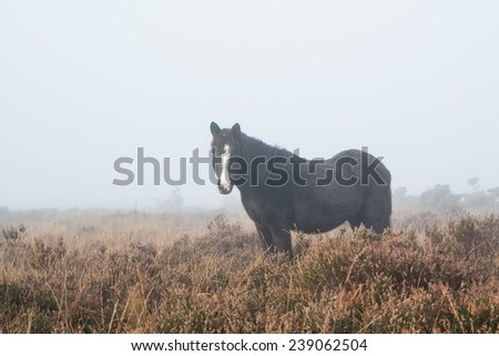 black new forest pony in the fog