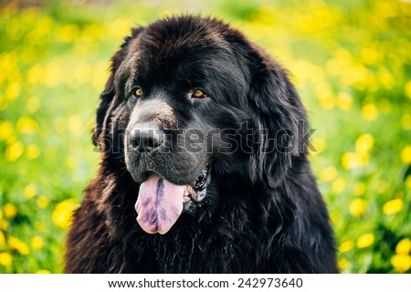 Black Newfoundland Dog Portrait In Summer Meadow. Outdoor Close Up Portrait On Green Grass Background - stock photo