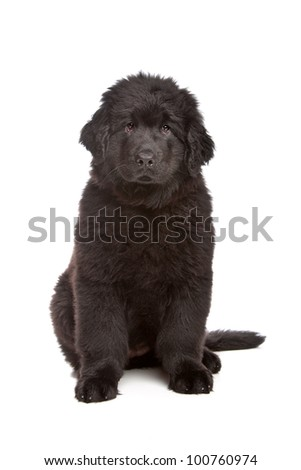 Black Newfoundland puppy in front of white background - stock photo