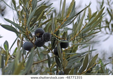 black olive tree - stock photo
