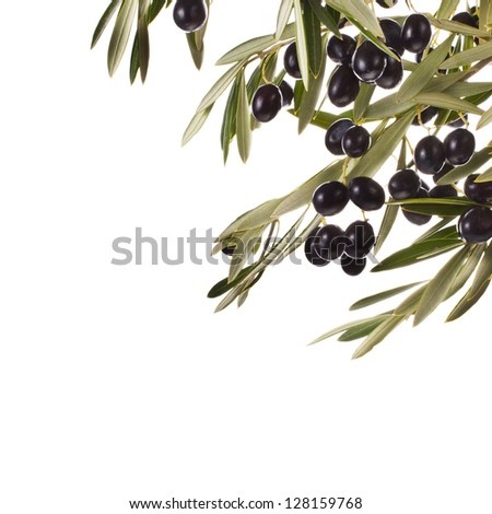 Black olives in olive tree branch isolated on a white background - stock photo