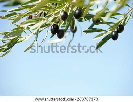 Black olives on the tree against blue sky. Shallow depth of field.  Selective Focus. - stock photo