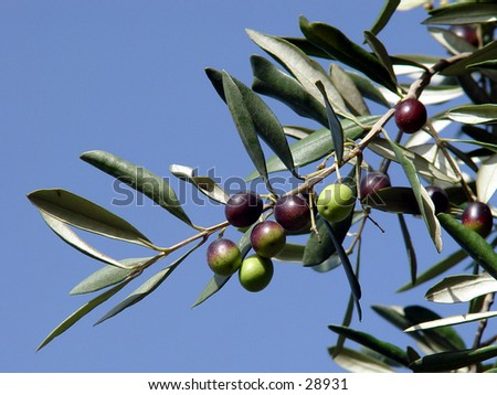 Black olives ripening on a tree - stock photo