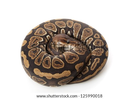 Black opal ball python (Python regius) isolated on white background. - stock photo