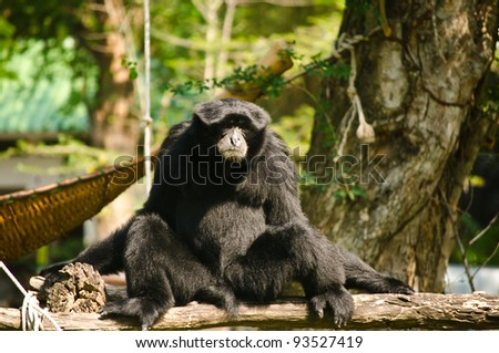 Black Orangutan. - stock photo