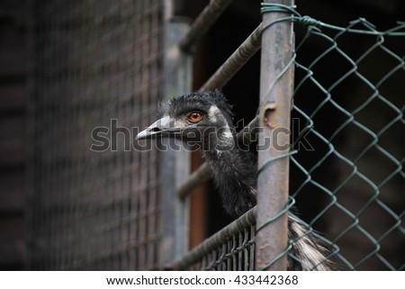 Black ostrich looking from cage - stock photo