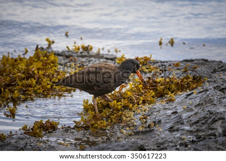 Black Oystercatcher feeding on the shore at low tide, Haida Gwaii, British Columbia Canada